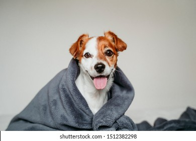 cute small jack russell dog sitting on bed, covered with a grey blanket. Resting at home. Pets indoors