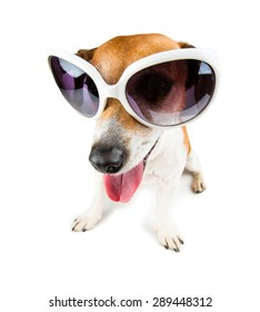 Cute small Jack russell terrier wearing white sunglasses distorted by wide angle closeup.