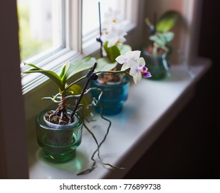 Cute small mini miniature orchids blooming on window