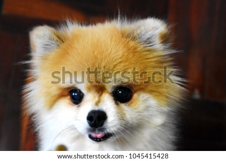 Cute Small Pomeranian Dog See Her Stock Photo Edit Now 1045415428