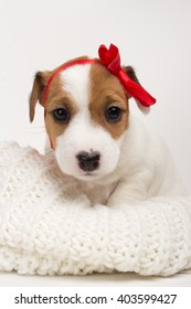 Cute small puppy female dog with red bow on her head