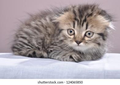 cute small Scottish fold kitten