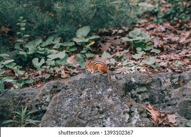 Cute small striped yellow brown chipmunk ground squirrel sitting on stone rock in autumn forest among trees, leaves and plants. Natural wild animal mimicry coloration phenomenon in nature environment.
