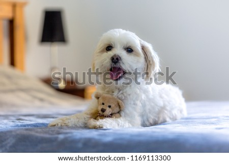 Cute Small White Dog Lying On Stock Photo Edit Now 1169113300