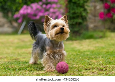 Cute small yorkshire terrier is plaing with ball on a green lawn outdoor. Cute small pet.