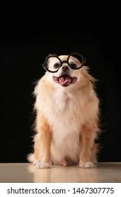 cute smart long brown hair chihuahua with black glasses nerd stylish dark blackground