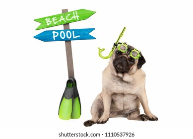 cute smart pug puppy dog sitting down wearing goggles and snorkel, next to signpost with text pool and beach, isolated on white background