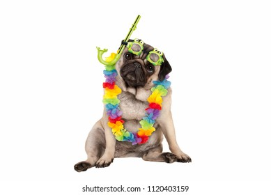 cute smart pug puppy dog sitting down wearing hawaiian flower garland and green goggles and snorkel, isolated on white background