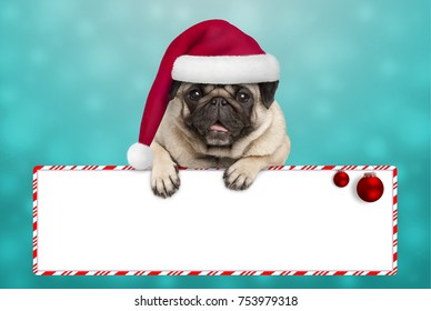 cute smiling Christmas pug puppy dog with santa hat, hanging with paws on blank sign. on blue background