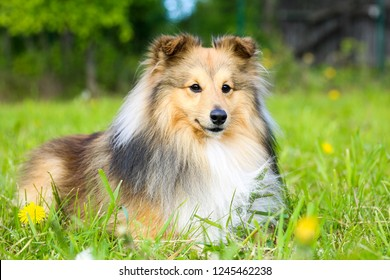 Cute, smiling fluffy sable white shetland sheepdog, little sheltie lies on green grass field with yellow dandelions. Fur small collie, lassie dog in park on hot summer day