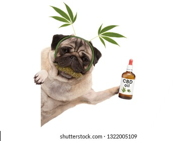 cute smiling pug puppy dog holding up bottle of CBD oil, wearing marijuana hemp leaf diadem, chewing on cannabis flowers, isolated on white background