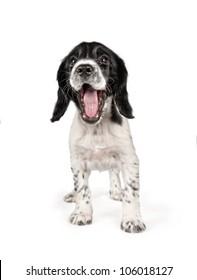 Cute smiling springer spaniel puppy
