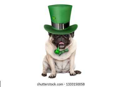 cute smiling st patricks day pug puppy dog sitting down with green top hat and pipe, isolated on white background