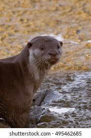 Cute smooth-coated otter (Lutrogale perspicillata) looking back on mudflat in Penang Island, Malaysia
