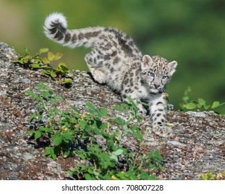 Cute snow leopard cub descending on rocky surface