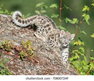 Cute snow leopard cub descending