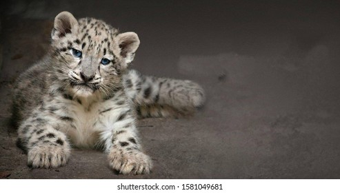 Cute snow leopard cub lying on the ground with gray background