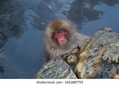The cute snow monkey. Jigokudani, Nagano, Japan