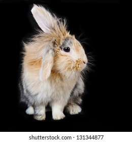 Cute soft beige brown lop rabbit with soft long fur, on black background