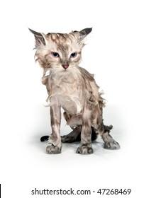 Cute soggy kitten after a bath