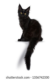 3988f1be95 Cute solid black Maine Coon cat kitten