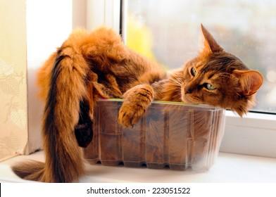 Cute somali cat lying inside plastic box