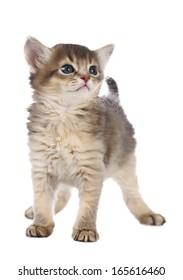 Cute somali kitten isolated on white background
