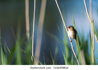 Cute songbird - Reed Warbler, Acrocephalus Scirpaceus - sitting in its natural habitat in the reeds