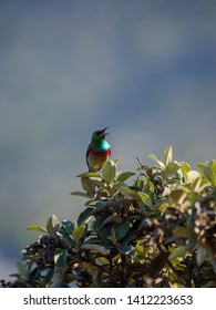 Cute southern double-collared sunbird or lesser double-collared sunbird (Cinnyris chalybeus). Cape Point. Cape Town. Western Cape. South Africa