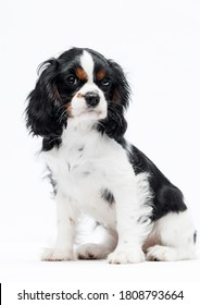 cute spaniel puppy looking up on white background
