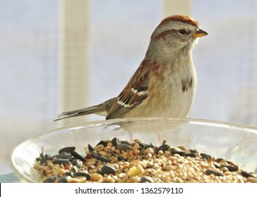 Cute Sparrow eating birdseed from a pretty glass dish.