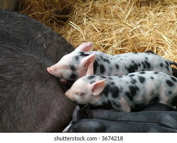Cute speckled piglets suckling in the hay