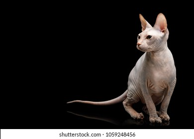 Cute Sphynx Cat Sitting, looking at side, Isolated on Black Background, front view
