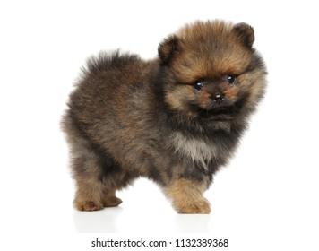 Cute Spitz dog puppy in stand on white background
