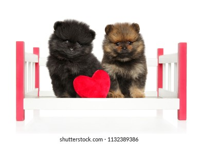 Cute Spitz puppies on baby cot toy with red heart on white background. Love Valentine-s day theme for postcards