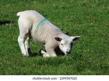 Cute spring lamb, kneeling on green grass, facing the camera.