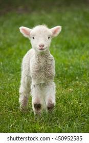 Cute spring lamb in a lush paddock