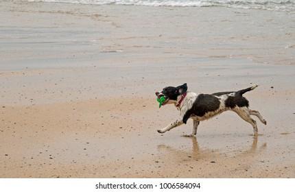A Cute Springer Spaniel dog on Harlyn Beach, Cornwall