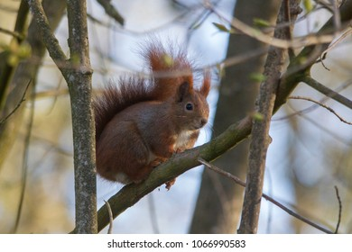 Cute squirrel climbing on a tree trunk in misty weather in a forest or woodland in a profile view as it keeps a watchful eye on the camera