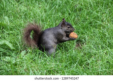 A cute squirrel cracking a chestnut in a New York park