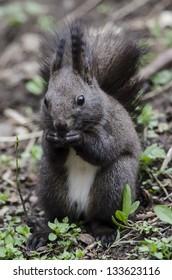 cute squirrel eat hazelnut