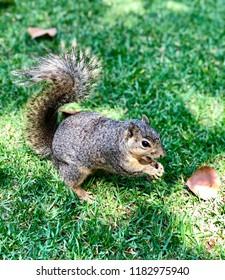Cute Squirrel Eating Food.