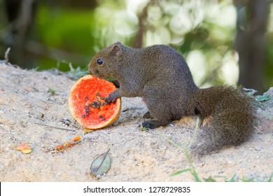 Cute squirrel eating ripe papaya at Fraser's hill, Malaysia, Asia.