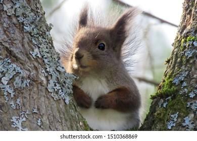 A cute squirrel in the Finnish nature