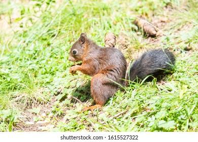 Cute Squirrel in the forest in Arosa in Switzerland