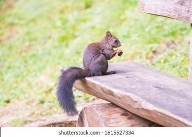 Cute-Eichhörnchen im Wald von Arosa in der Schweiz