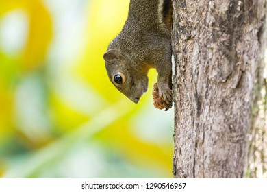 Cute squirrel holding food climbing a tree upside-down with blurred bright background in Singapore