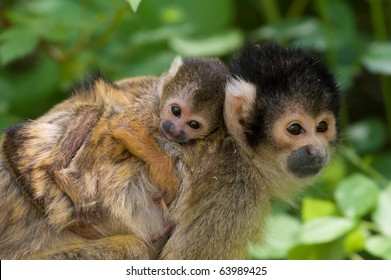 cute squirrel monkey with baby (Saimiri) subfamily: saimiriinae