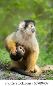 cute squirrel monkey with baby (Saimiri) subfamily: saimiriinae