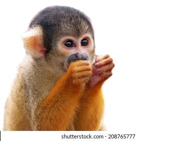 Cute Squirrel monkey (Saimiri) - Isolated on white background